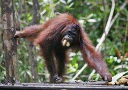 New research suggests orangutans not so solitary (AP)