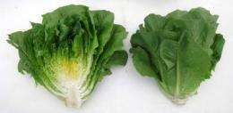 New romaine lettuce lines launched