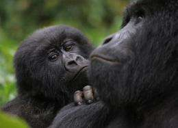 Only five other sets of mountain gorilla twins have been recorded in 40 years of monitoring in Rwanda