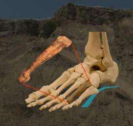 On their own 2 feet: 3.2 million-year-old fossil foot bone supports humanlike bipedalism in Lucy's species