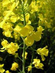 Plant hormone regulates nectar production
