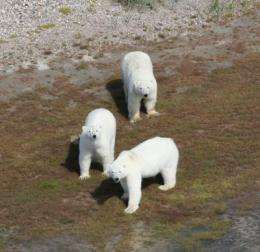Polar bears can't eat geese into extinction