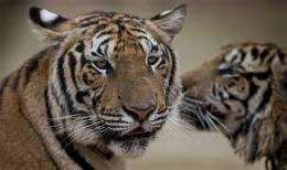 Save the tiger: Pressure mounts for tougher action (AP)