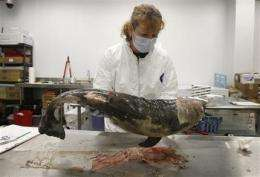 Scientists scrutinize rise in baby dolphin deaths (AP)