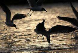 Seagulls feed not far from the massive BP oil spill