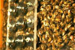 Sleepless honey bees miscommunicate, too, research at the University of Texas at Austin shows