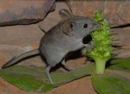 Sticky snack for elephant-shrews