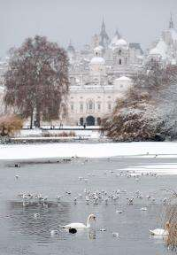 Swans swim in Saint James' Park's lake