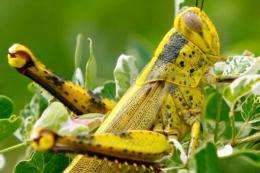 Swarms of locusts have been ravaging crops in a vast section of eastern Australia