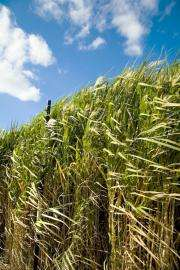 The next carbon capture tool could be new, improved grass