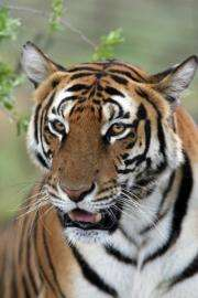The South China tiger hasn't been spotted in the wild since the 1970s, according to the WWF conservation group