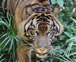 The WWF says there are just 3,200 tigers living in the wild