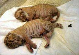"""Two baby """"ligers"""", hybrids of lions and tigresses, born at a private zoo in Taiwan"""