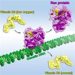 Vitamin B3 Controls Important Life Processes by Changing Shape in Response to Oxygen Level