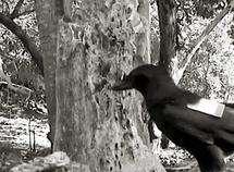 Wild crows reveal tool skills