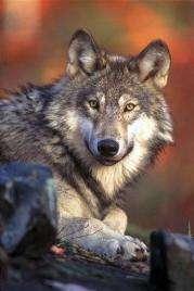 Wildlife advocates hail Rocky Mountain wolf ruling (AP)